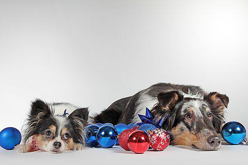 Dogs, Christmas, Pack, Dog Eyes, Two Dogs