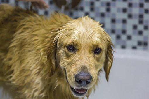 Animal, Cute, Dog, Mammal, Pet, Laundry Day, Dog Wash