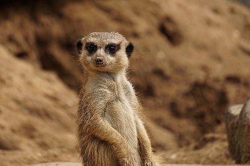Animal World, Nature, Meerkat, Mongoose, Cute, Mammal
