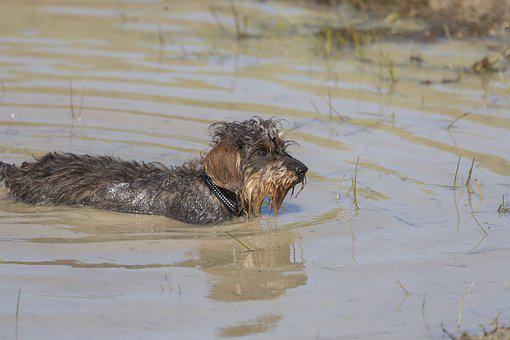Waters, Animal, Puddle, Nature, River, Dachshund, Dog