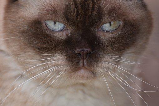 British Shorthair, Cat, Domestic Cat, Fur, Portrait