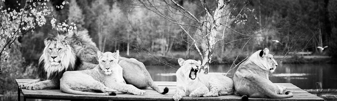 Family, Lions, Black And White