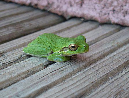 Frog, Green, Rest, Eyes, Open, Close Up, Boards