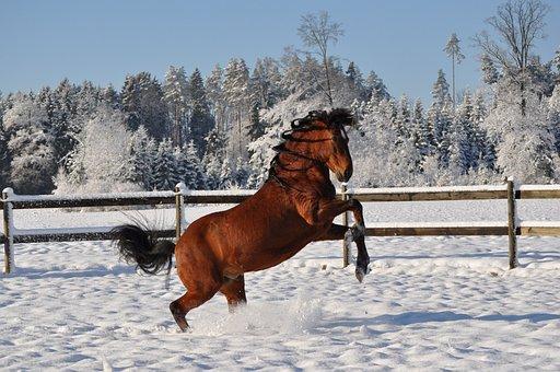 Snow, Winter, Horse, Outdoors, Paso Fino, Stallion
