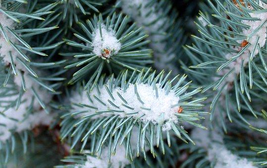 Winter, January, Snow, Needles, Spruce