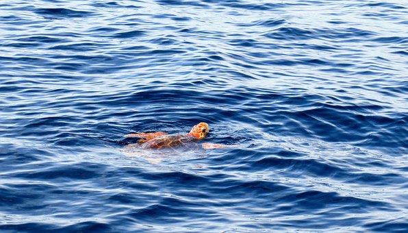 Loggerhead Turtle, Sea Turtle, Tenerife, Migration