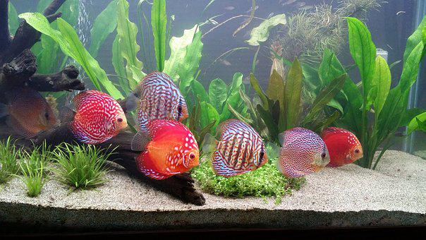 Schooling Discus Fish, School, Aquarium