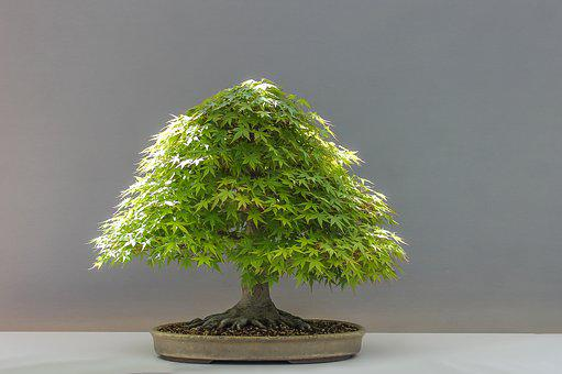 Bonsai, Plant, Japan Maple, Culture, Japan