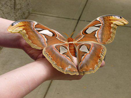 Butterfly, Enormous, Huge, Nature, Wing, Colorful, Bug