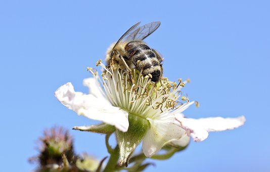 Bee, Insect, Close Up, Flowers, Honey Bees, Blackberry