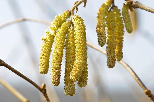Nature, Hazelnut, Hazel Flower, Spring, Close, Hazel