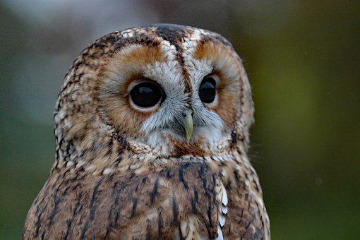 Barred Owl, Owl, Usa, Perched, Wilderness, Bird