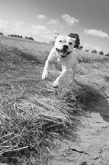 Dog, Stafford, Staffordshire, Terrier, Black And White
