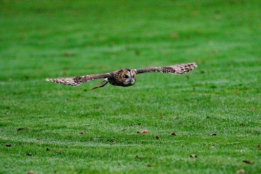 Barred Owl, Owl, Usa, Wilderness, Bird, Wildlife