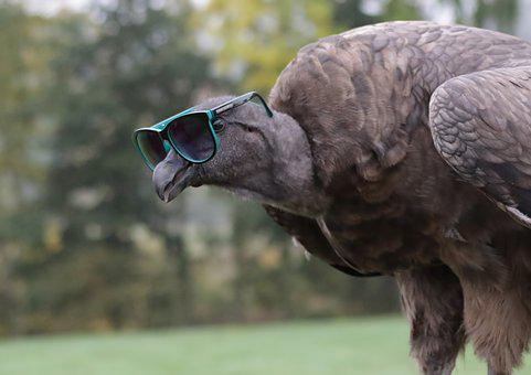 Baby Condor Wearing Sunglasses, Vulture, Condor