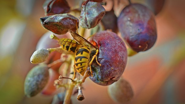 Wasps, Grapes, Wasps Devoured, Grapevine Protection