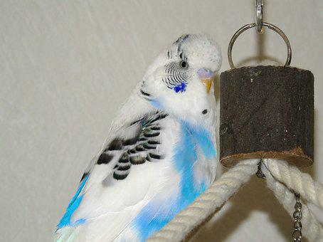 Budgie, Parrot, Bird, Blue, White, Harlequin, Closeup