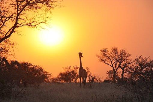 Giraffe, Africa, Safari, Wildlife, Wild, Animal, Mammal