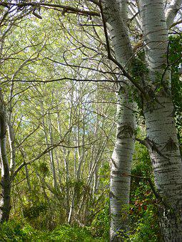 White Poplar, Riparian Forest, Alameda, Populus Alba