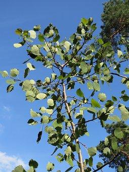 Populus Tremula, Aspen, Common Aspen, Eurasian Aspen