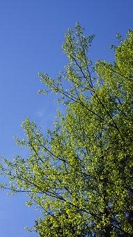 Aspen, Populus Tremula, New Leaves, Spring