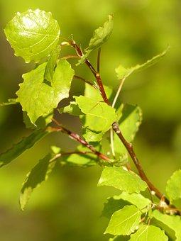 Leaves, Road, Branch, Green, Tree, Aspen, Aspen Leaves