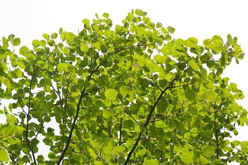 Leaves, Foliage, Tree, Green, Aspen, Aspe, Agrimony