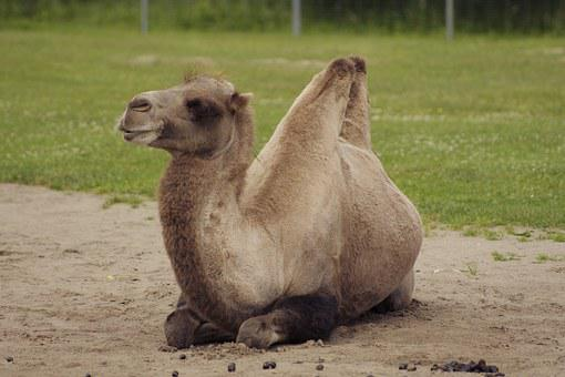 Bactrian Camel, Camelus Bactrianus, Animal, Mammal