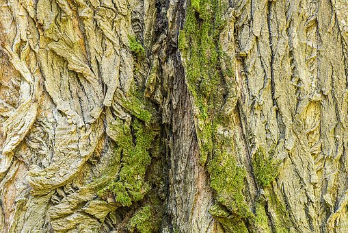 Black Poplar, Bark, Trunk, Tree, Old, Populus Nigra