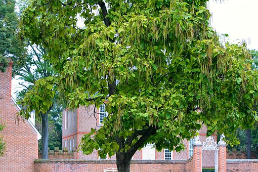 Catalpa Tree, Catawaba Tree, Bignoniaceae