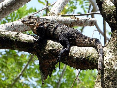 Iguana, Reptile, Yellow, Black, Costa Rica