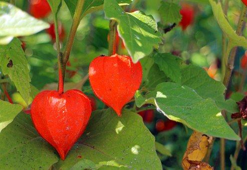 Lampionblume, Ornamental Plant, Bladder Cherry