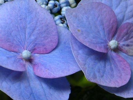 Hydrangea, Flower, Blossom, Bloom, Blue