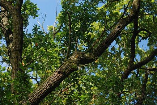 Oak, Tree, Branches, Sky, Blue, Leaves, Oak Tree