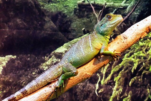 Chinese, Water Dragon, Physignathus, Concincinus, Water
