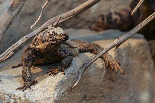 Chuckwalla, Sauromalus Ater, Reptile, Animal, Lizards