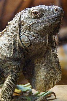 Iguana, Dragon, Close Up, Animal Portrait, Reptile