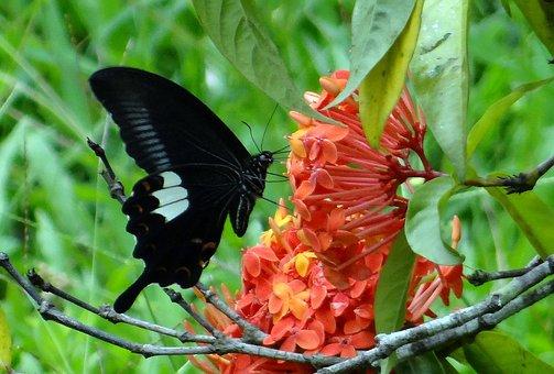Common Mormon, Butterfly, Papilio Polytes, Swallowtail
