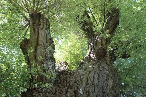 White Poplar, Poplar, Deciduous Tree, Tree, Branches