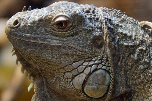 Iguana, Face, Portrait, Head, Reptile, Dragon, Profile