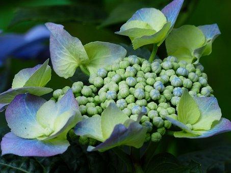 Hydrangea, Bud, Flower, Flower Buds, Blue