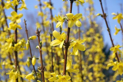 Forsythia, Sepals, Gold Lilac, Golden Bells