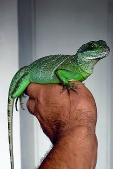 Chinese Water Dragon, Lizard, Green, Reptile, Water