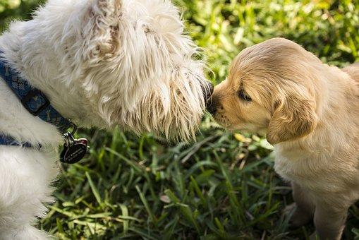 Westie, Dog, Terrier, Pet, Puppy, West, Highland