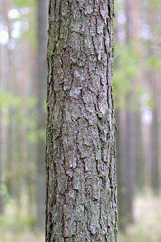 Trunk, Tree, Spruce, Forest, The Bark, Invoice