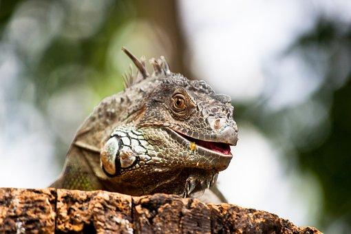 Reptile, Zoo, Portrait, Green, Iguana, Scale, Leather