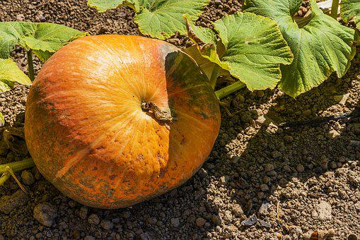 Pumpkin, Decorative, Green, The Autumn, Nature, Leaves