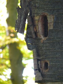Woodpecker Cave, Nest Cavity, Nest, Cave, Woodpecker