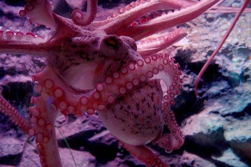 Octopus, Tentacles, Suckers, Undersea World, Oceanarium
