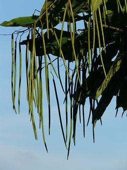 Ordinary Catalpa, Fruits, Tree, Catalpa Bignonioides